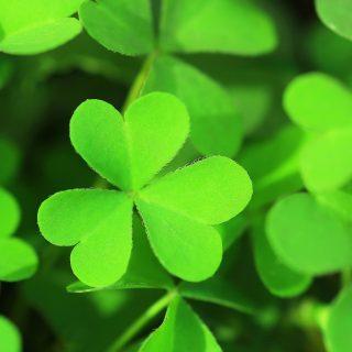 アイルランドのシンボル「シャムロック☘」